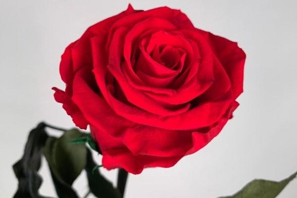 rose eternelle cest quoi