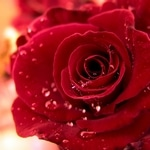 rose stabilisée éternelle